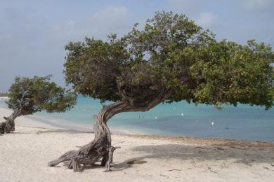 Divi-Divi na Praia de Eagle Beach em Aruba no Caribe
