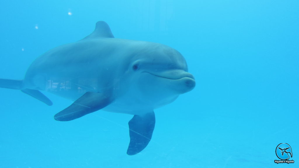 Dolphin ou Golfinho Flipper no Miami Seaquarium na Florida