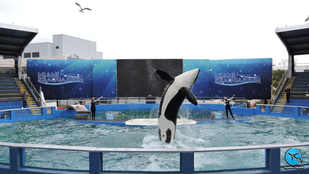 show com Baleia orca no Miami Seaquarium na Florida