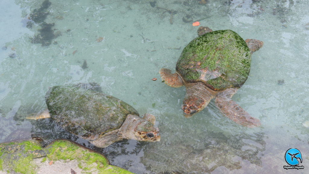 Tartarugas marinhas no Miami Seaquarium na Florida
