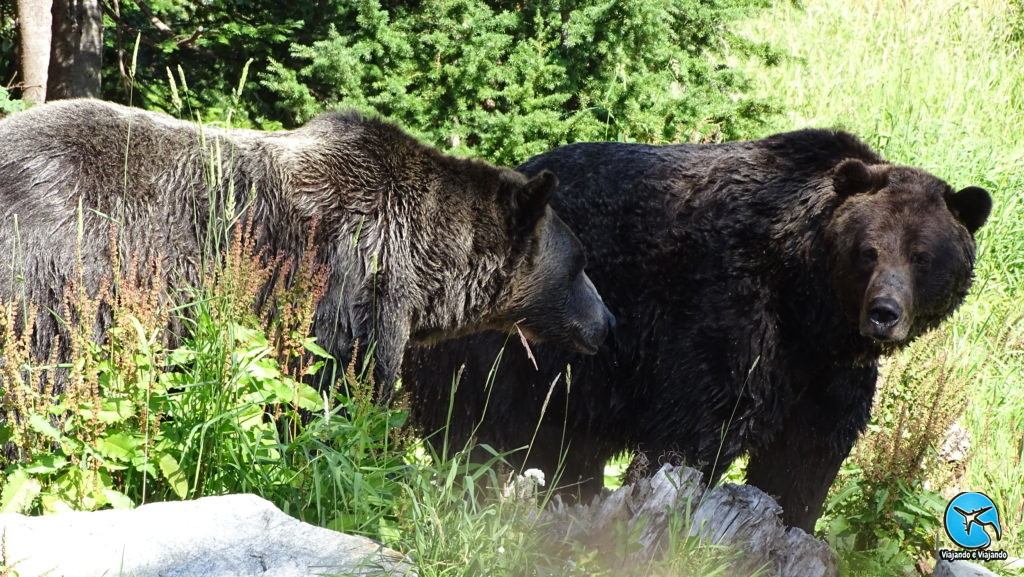 Bears in Grouse montain Vancouver